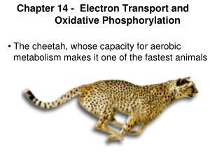 Chapter 14 -  Electron Transport and Oxidative Phosphorylation