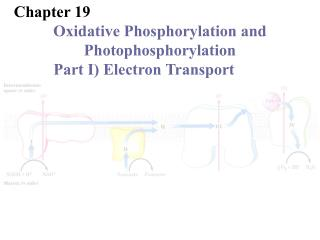 Chapter 19 	Oxidative Phosphorylation and 	Photophosphorylation Part I) Electron Transport