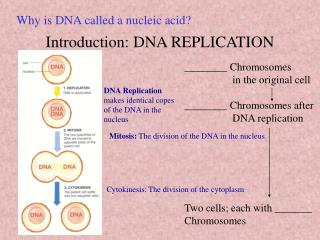 Introduction: DNA REPLICATION