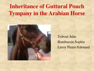 Inheritance of Guttural Pouch Tympany in the Arabian Horse