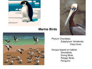 Marine Birds Phylum Chordates Subphylum Vertebrata