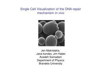Single Cell Visualization of the DNA repair mechanism  in vivo Jen Makridakis,