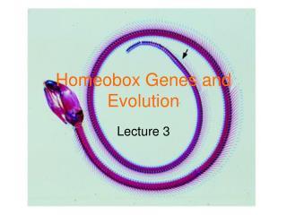 Homeobox Genes and Evolution