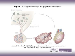 Figure 1  The hypothalamic–pituitary–gonadal (HPG) axis