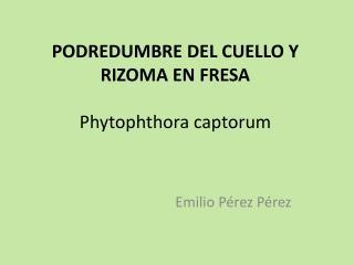 PODREDUMBRE DEL CUELLO Y RIZOMA EN FRESA Phytophthora captorum