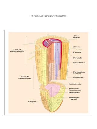 biologia-jct.iespana.es/curtis/libro/c36d.htm