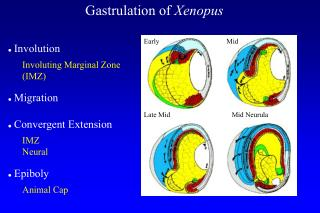 Gastrulation of  Xenopus