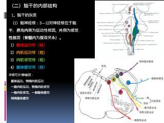 躯体运动核: oculomotor nuclei ( III )             trochlear nuclei ( IV)