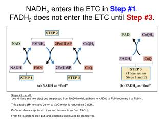 NADH 2  enters the ETC in  Step #1 .  FADH 2  does not enter the ETC until  Step #3 .