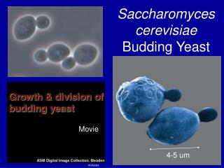 Saccharomyces cerevisiae Budding Yeast