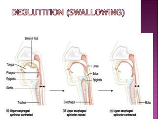 Deglutition (Swallowing)
