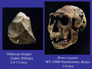 Homo ergaster WT 15000 Nariokotome, Kenya 1.6 mya