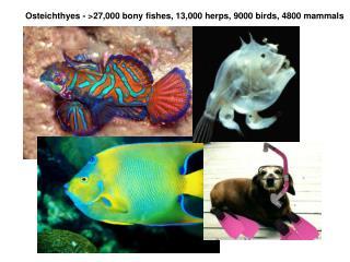 Osteichthyes - 27,000 bony fishes, 13,000 herps, 9000 birds, 4800 mammals