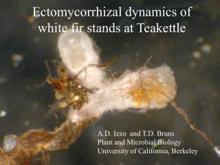 Ectomycorrhizal dynamics of white fir stands at Teakettle