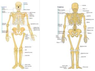 SYNDESMOLOGIA (znanost o zglobovima i spojevima među kostima)