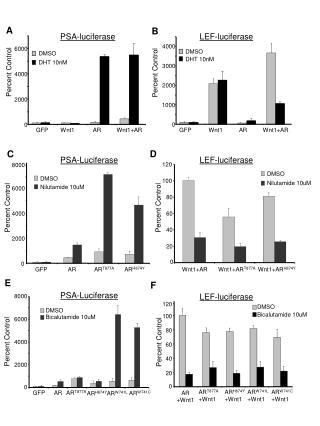 LEF-luciferase
