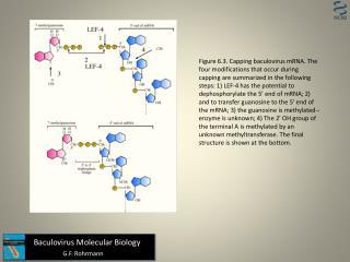 Baculovirus Molecular Biology