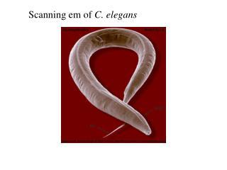 Scanning em of  C. elegans
