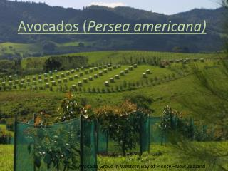 Avocados ( Persea americana )