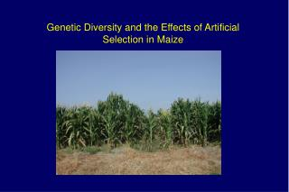 Genetic Diversity and the Effects of Artificial  Selection in Maize