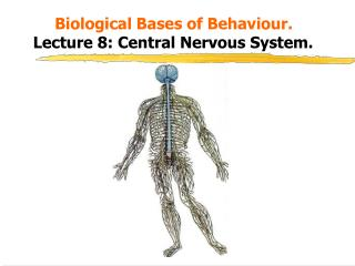 Biological Bases of Behaviour.    Lecture 8: Central Nervous System.
