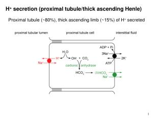 H +  secretion (proximal tubule/thick ascending Henle)