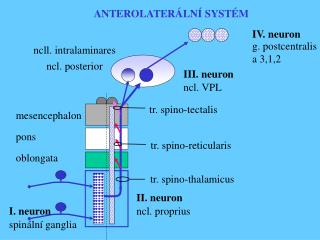 III. neuron