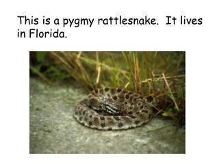 This is a pygmy rattlesnake.  It lives in Florida.