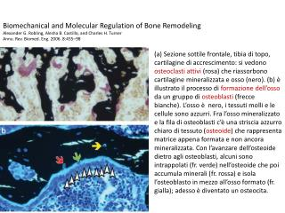 Biomechanical and Molecular Regulation of Bone Remodeling