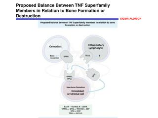 Proposed Balance Between TNF Superfamily Members in Relation to Bone Formation or Destruction