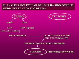 EL ANALISIS MOLECULAR DEL DNA HA SIDO POSIBLE MEDIANTE EL CLONADO DE DNA