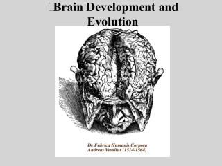 Brain Development and Evolution