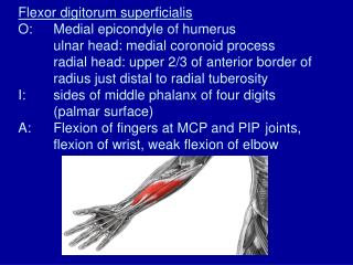 Flexor digitorum superficialis O: Medial epicondyle of humerus  ulnar head: medial coronoid process  radial head: upper