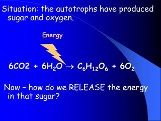 Situation: the autotrophs have produced sugar and oxygen.                 Energy