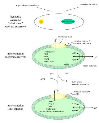 -proteobacterial symbiont