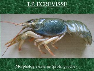 T.P. ECREVISSE