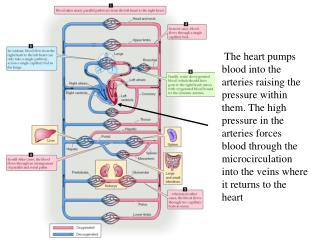 The  Cardiac Output  is the volume of blood circulating around the system per minute.  ~5 L/min