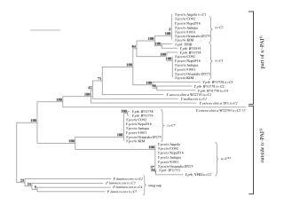 Y.pestis  Angola  tccC1