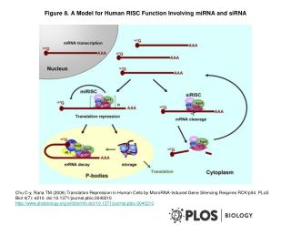 Figure 8. A Model for Human RISC Function Involving miRNA and siRNA
