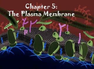 Chapter 5: The Plasma Membrane