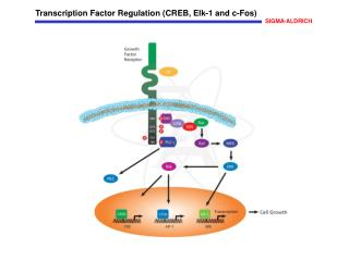 Transcription Factor Regulation (CREB, Elk-1 and c-Fos)