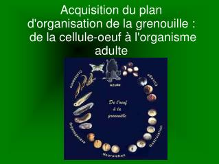 Acquisition du plan d'organisation de la grenouille :  de la cellule-oeuf à l'organisme adulte