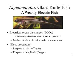 Eigenmannia : Glass Knife Fish A Weakly Electric Fish