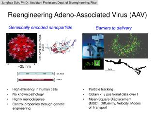 Reengineering Adeno-Associated Virus (AAV)