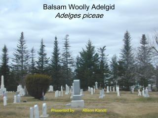 Balsam Woolly Adelgid Adelges piceae