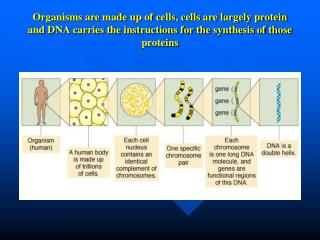DNA is made up of subunit building blocks called nucleotides