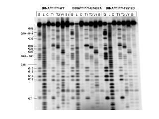 tRNA Ser(UCN) -WT         tRNA Ser(UCN) -G7497A     tRNA Ser(UCN) -T7512C