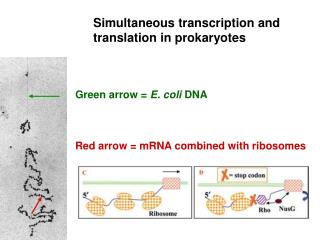 Simultaneous transcription and translation in prokaryotes