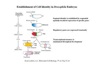 Establishment of Cell Identity in  Drosophila  Embryos