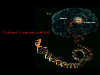 Il processo di trascrizione del DNA